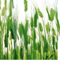 Wet Barley